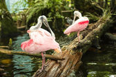 Roseate spoonbills — Stock Photo