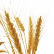 Image of wheat isolated over white background — Stock Photo