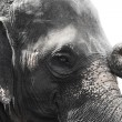 Image of asian elephant head close up — Stock Photo