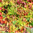 Stock Photo: Image of wall covered with bright autumn leaves. Selective focus