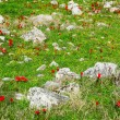 Meadow with stones and red poppy flowers — Stock Photo