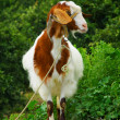 Image of curious hornless goat — Stock Photo