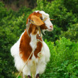 Stock Photo: Image of curious hornless goat