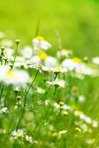 Summer camomile background — Stock Photo