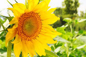 Image of sunflower. Selective focus — Stock Photo