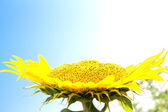 Beautiful flower of a sunflower on a background of blue sky — Stock Photo