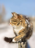 Discouraged young cat going on a fence in winter — Stock Photo