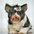 Attentive Yorkshire Terrier — 图库照片