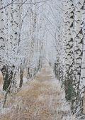 Birch grove under frost — Stock Photo