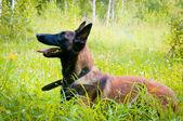 German Shepherd in the park — Stock Photo