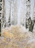 Birkenhain unter frost — Stockfoto