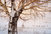 Bare winter tree covered with snow — Stock Photo