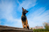 German Shepherd against the blue sky — Stock Photo