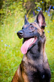 German Shepherd sitting in the park — Stock Photo