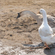 Two geese on Farm — Stock Photo