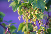 Unripe currant on branch — Stock Photo