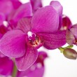 Stock Photo: Purple Orchids - close up