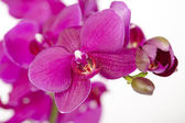 Purple Orchids - close up — Stok fotoğraf