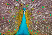 Peacock with an open tail — Stock Photo