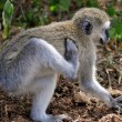 Baboon found in tanzania — Stock Photo #38299157