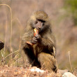 Baboon found in Tanzania — Stock Photo #38299891