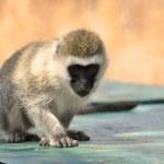 Baboon found in Tanzania — Stock Photo