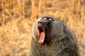 Baboon found in Tanzania — Stock Photo