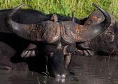 Buffalo in Tanzania — Stock Photo