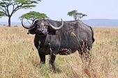 Buffalo in Tanzania — Stock Photo