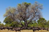 Buffalo in Tanzani — Stock Photo