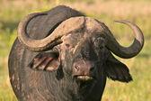 Buffalo in Tanzani — Stock Photo