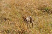 Cheetah found in Tanzania — Stock Photo