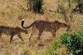 Gepard w park narodowy w tanzanii — Zdjęcie stockowe