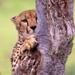 Cheetah found in National Park in Tanzania — Stock Photo #38473645