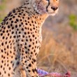 Cheetah found in National Park in Tanzania — Stock Photo