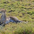 Cheetah found in National Park in Tanzania — Stock Photo #38477523
