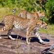 Cheetah found in National Park in Tanzania — Stock Photo #38478979