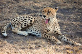 Cheetah found in National Park in Tanzania — Zdjęcie stockowe