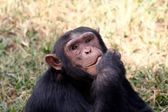 Chimpanzee in Tanzania — Stock Photo