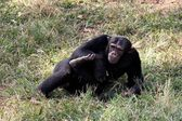 Chimpanzee in Tanzania — Foto de Stock