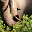 Stock Photo: Elephants in Tanzania