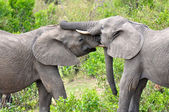 Elephants in Tanzania — Stockfoto