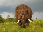 タンザニアでの象 — ストック写真