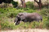 Elephants in Tanzania — Stock Photo