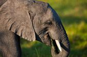 Elephant in national parks of Tanzania — Stock Photo