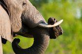 タンザニアの国立公園の中の象 — ストック写真