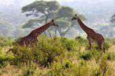 Giraffe in the Tanzanian national park — Stok fotoğraf