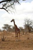 Giraffe in the park — Stock Photo