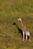 Giraffe in the wild — Stock Photo