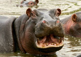 Hippopotamus in the national park — Stock Photo